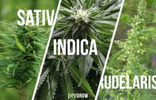 Los diferentes tipos de marihuana: efectos y características